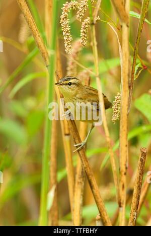Sedge Warbler - Acrocephalus schoenobaenus, small shy perching bird from European reeds, Hortobagy National Park, Hungary. - Stock Photo