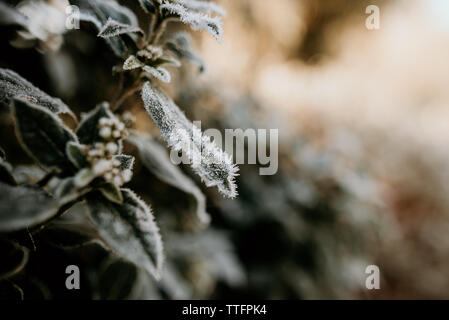 Frost covered green leaves on a plant in an English garden - Stock Photo