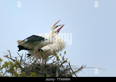 White stork (Ciconia ciconia) pair perform an aggressive display as a buzzard flies too close to their nest in an oak tree, Knepp Estate, Sussex, UK. - Stock Photo