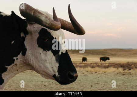 Close-up of buffalo with American bison in background - Stock Photo