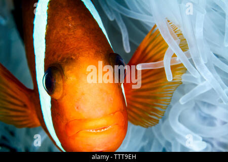 Close-up of red and black anemonefish (Amphiprion melanopus) by magnificent sea anemone - Stock Photo