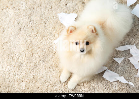 Pomeranian spitz dog with torn paper on carpet - Stock Photo
