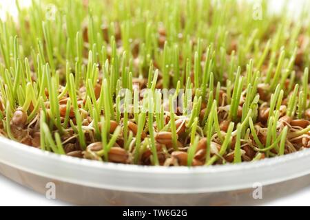 Fresh wheat grass in plate, closeup - Stock Photo