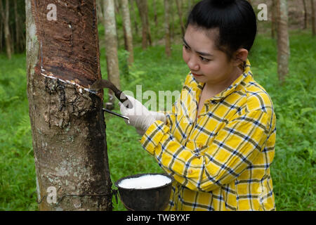 Portrait women tapping latex from a rubber tree form Thailand - Stock Photo