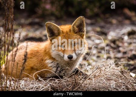 garden fox - Stock Photo