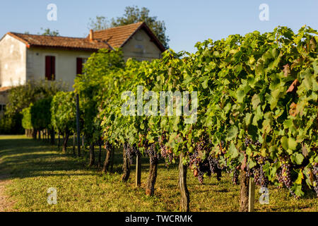 Scenic view of grapes vineyards in the South of France in the afternoon of a sunny day with a house in the background - Stock Photo