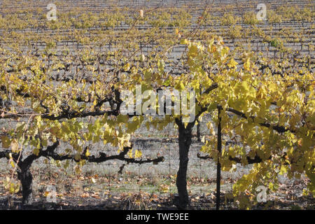 Vneyard in Clare valley. Clare Valley is a renowned wine-producing region northeast of Adelaide in South Australia. - Stock Photo