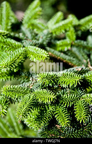 Fir tree brunch close up. Fluffy fir tree brunch closeup. Christmas wallpaper concept. - Stock Photo