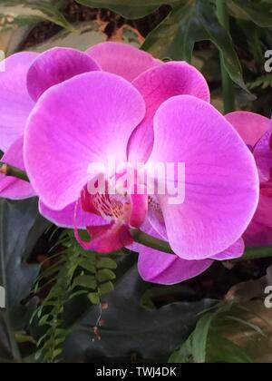 Macro/Close up of pink orchid in Hawaii, USA - Stock Photo