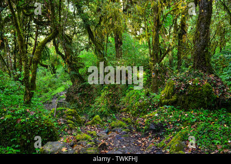 Ecology of green tree in tropical forest of Annapurna Range, Nepal. - Stock Photo