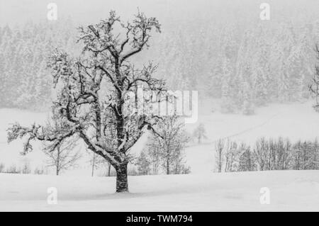 A lone tree covered with snow is standing whereas heavy snowfall in Germany almost made the other trees invisible. A B&W artistic impression. - Stock Photo