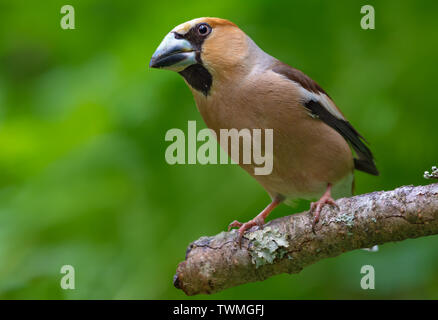 Male hawfinch perched on a dry lichen covered branch in forest - Stock Photo