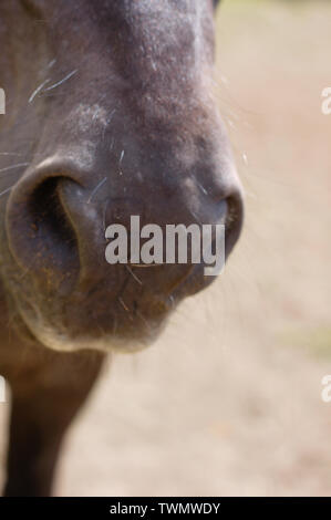 Horse mouth and nostrils. Closeup. - Stock Photo