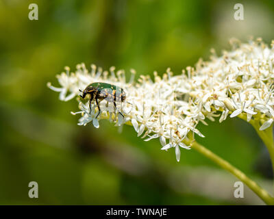 An oriental flower beetle, Protaetia orientalis, feeds on small white flowers in a Japanese park. - Stock Photo