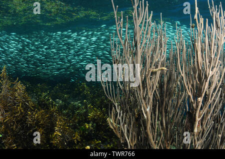 Network pipefish is peeping out of a sea fan coral and the school of sardines is spinning close to a surface, Panglao, Philippines - Stock Photo
