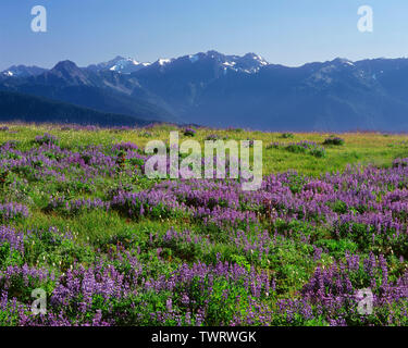 USA, Washington, Olympic National Park, Lupine and bistort in bloom at Hurricane Ridge and distant peaks of the Bailey Range. - Stock Photo