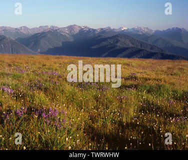USA, Washington, Olympic National Park, Lupine and bistort bloom among grasses near Hurricane Ridge, Elwah Valley and peaks appear in the distance. - Stock Photo