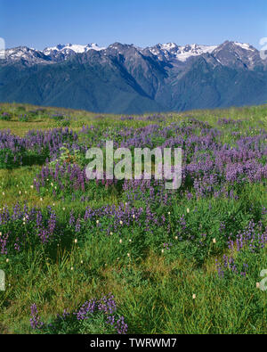USA, Washington, Olympic National Park, Lupine blooms at Hurricane Ridge with distant Mt. Olympus (left) and peaks of the Bailey Range (right). - Stock Photo
