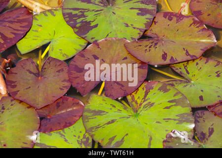 An abstract natural background of brown, red and green variegated lily leaves floating on the surface of the water in a pond - Stock Photo