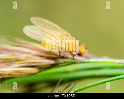 Exotic Drosophila Fruit Fly Diptera Insect ont Plant Spike - Stock Photo