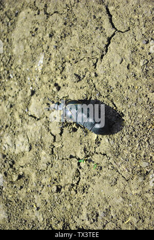 Black meloe proscarabaeus bug crawling on gray soil background, top view - Stock Photo