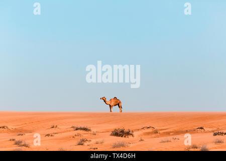 Dromedary in Wahiba sands desert, Oman - Stock Photo