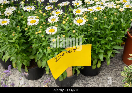White daisies on plastic black pot with yellow paper handwritten to identify them at street flower market. - Stock Photo
