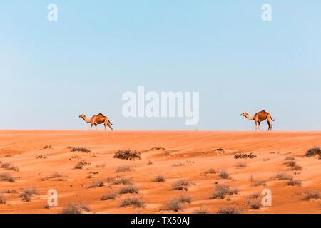 Dromedaries in Wahiba sands desert, Oman - Stock Photo