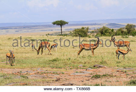 African landscape with impala and gazelles standing green plains with trees and hills in distance blue sky Masai Mara National Reserve Kenya Africa - Stock Photo