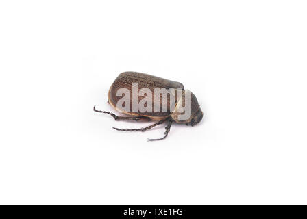 Coconut beetle worm  on white background. - Stock Photo