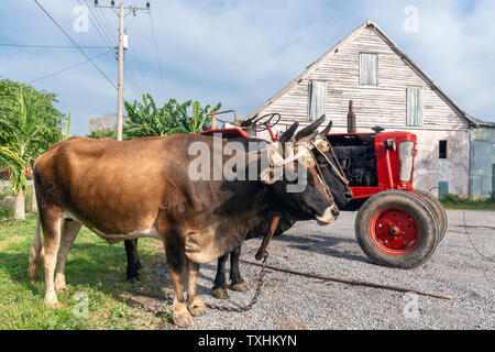 Pair of oxen standing in front of a tobacco drying shed on a farm in the rural village of San Juan y Martinez, Pinar del Rio Province, Cuba - Stock Photo