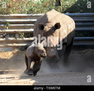 A three week old female White Rhino runs with her mother Tanda, 21 years, at the Ramat Gan Safari, near Tel Aviv, Israel, September 4, 2014. It is the first female White Rhino that has born at the Safari in twenty years. The White Rhino is a species that is critically endangered and has been categorized as NT (near threatened) by the Inter-Union of Conservation of Nature.   UPI/Debbie Hill - Stock Photo
