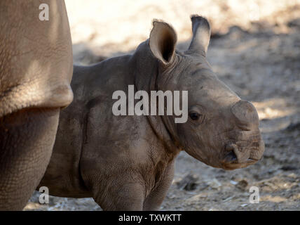A three week old female White Rhino stands with her mother Tanda, 21 years, at the Ramat Gan Safari, near Tel Aviv, Israel, September 4, 2014. It is the first female White Rhino that has born at the Safari in twenty years. The White Rhino is a species that is critically endangered and has been categorized as NT (near threatened) by the Inter-Union of Conservation of Nature.   UPI/Debbie Hill - Stock Photo