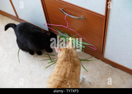Siberian red cat eat green grass, green juicy grass for cats, sprouted oats useful for cats - Stock Photo