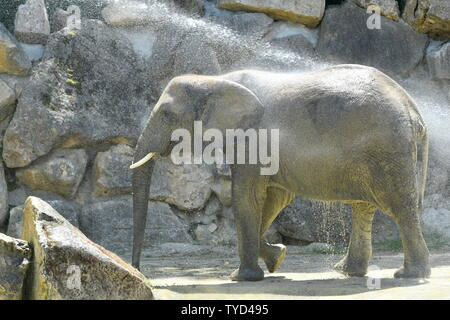 Vienna, Austria. 26th June, 2019. Heatwave in Vienna. Today, it is expected to reach 37 degrees Celsius. An elephant enjoys the shower from his keeper in the 'Tiergarten Schönbrunn'. Credit: Franz Perc / Alamy Live News - Stock Photo