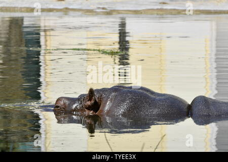 Vienna, Austria. 26th June, 2019. Heatwave in Vienna. Today, it is expected to reach 37 degrees Celsius. Hippos enjoy the cool water in the 'Tiergarten Schönbrunn'. Credit: Franz Perc / Alamy Live News - Stock Photo
