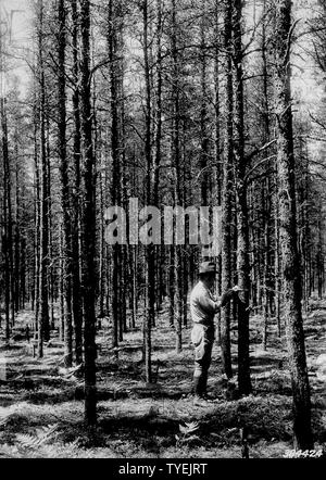 Photograph of a 35 Year Old Stand of Jack Pine; Scope and content:  Original caption: A 35 year old stand of jack pine thinned by CCC enrollees in the winter of 1934-35. Supt. Kellett is shown measuring the d.b.h. of one of the trees in the stand. - Stock Photo