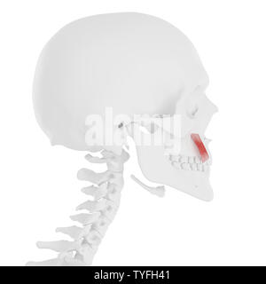 3d rendered medically accurate illustration of the Levator Anguli Oris - Stock Photo