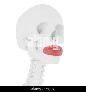 3d rendered medically accurate illustration of the Orbicularis Oris - Stock Photo
