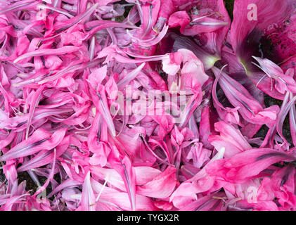 A Carpet of Colourful Pink, Purple and Red Double Opium Poppy Petals Lying on the Ground in a Garden in Alsager Cheshire England United Kingdom UK - Stock Photo