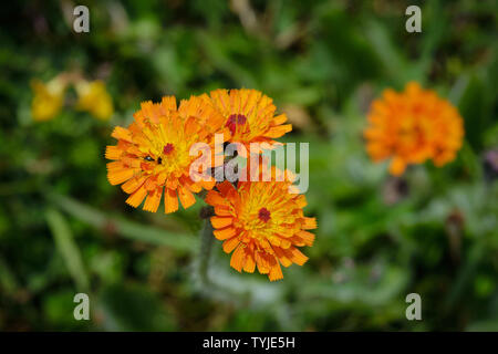 Orange Hawkweed (Pilosella Aurantica) Growing In A Former Quarry Site - Stock Photo