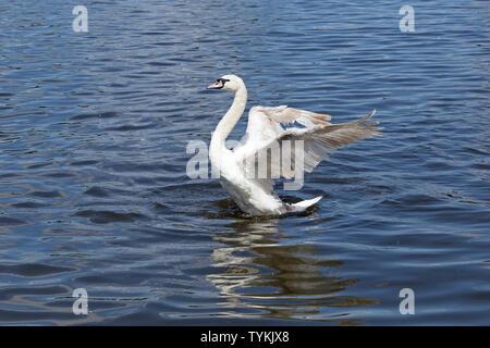 mute swan (Cygnus olor) spreading its wings, Inner Alster, Hamburg, Germany - Stock Photo