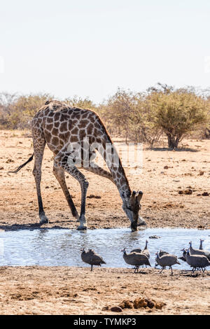 Giraffe drinking from a water hole in Etosha National Park, Namibia - Stock Photo