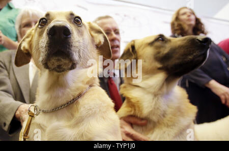 Two Chinooks are presented to the media at a press conference announcing three new breeds that will be competing at the138th Annual Westminster Kennel Club Dog Show in New York City on January 15, 2014. The Portuguese Podengo Pequeno, Rat Terrier and Chinook are added this year as 3 new breed additions to the competition at Madison Square Garden.      UPI/John Angelillo - Stock Photo