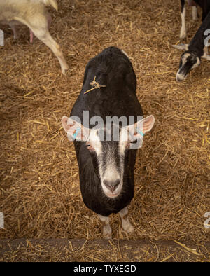Farmed goat indoors - Stock Photo
