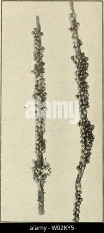 Archive image from page 149 of Die forstinsekten Mitteleuropas Ein lehr- - Stock Photo