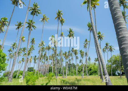 Low point of view tropical  coconut palms against blue sky and lens flare. - Stock Photo