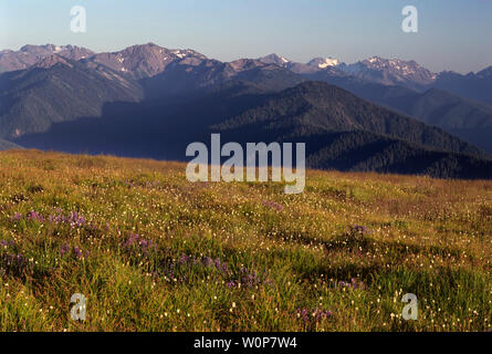 USA, Washington, Olympic National Park, Lupine and bistort bloom among grasses and sedges near Hurricane Ridge. - Stock Photo