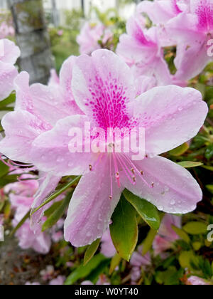 Alstroemeria, the Peruvian lily or lily of the Incas, is a genus of flowering plants in the family Alstroemeriaceae. - Stock Photo