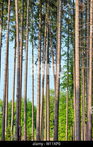 High spruce trees seen in a german forest - Stock Photo